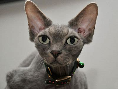 Grey Cat Breeds List