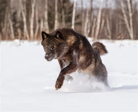 a wolf white wolf stunning photographs showcase the of black wolves