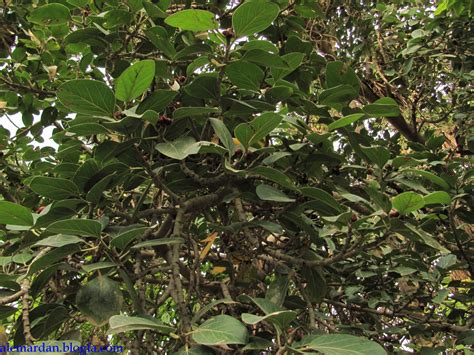 tropical subtropical trees index of tropical and subtropical trees ficus benghalensis