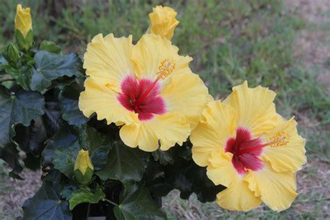 hibiskus zimmerpflanze kaufen hibiskus umpflanzen hibiskus umpflanzen hibiskus im