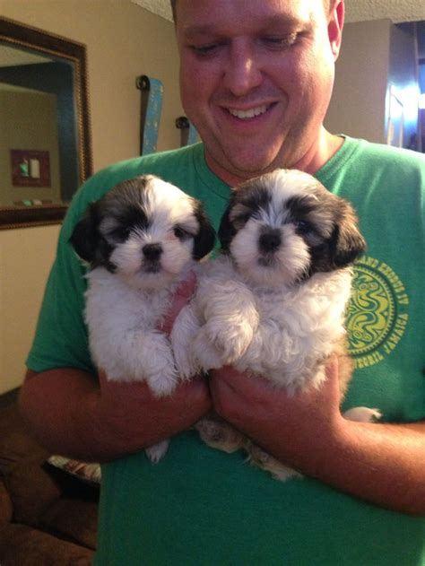 best shoo for shih tzu 675 best shih tzu pictures images on baby shih tzu shih tzu puppy and puppies