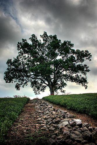 shawshank redemption tree photo