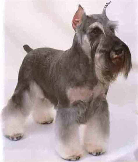 Standard Schnauzer Shedding by Schnauzer Haircut Styles Newhairstylesformen2014