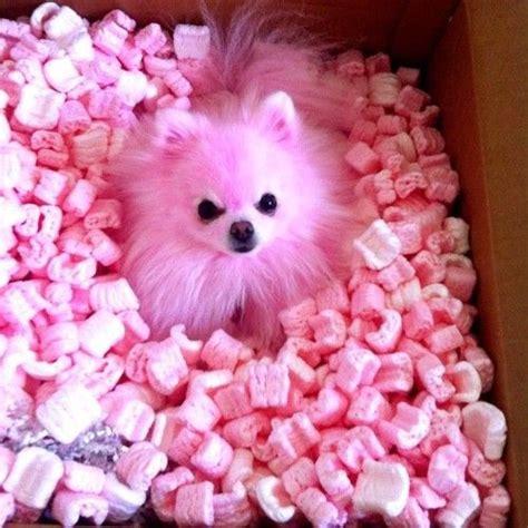 pink puppy puppy pink pomeranian pink puppy