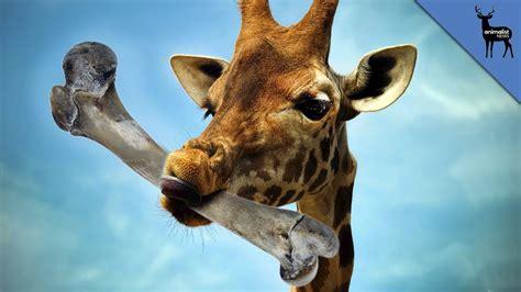 the giraffe that ate why do giraffes eat bones youtube