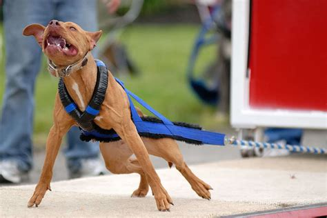 weight pulling pit bulls the most feared and misunderstood breed
