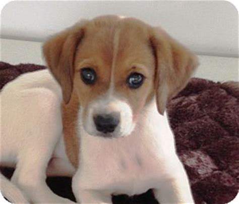beagle puppies michigan scout adopted puppy kalamazoo mi labrador retriever beagle mix