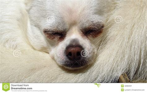 Gift Card Rescue Closed - white chihuahua small dog rescue stock photo image 42860351