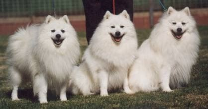 Do Japanese Spitz Shed by Does Anyone A Japanese Spitz That Can Help Weddingbee