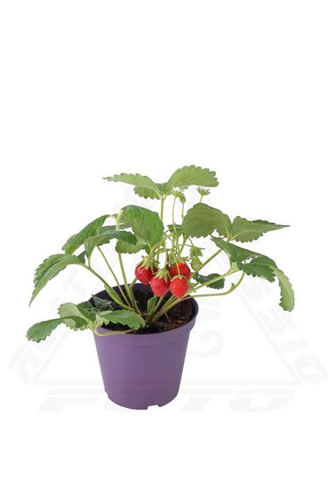 pianta di fragole in vaso pianta di fragola fiore rosso vendita azienda