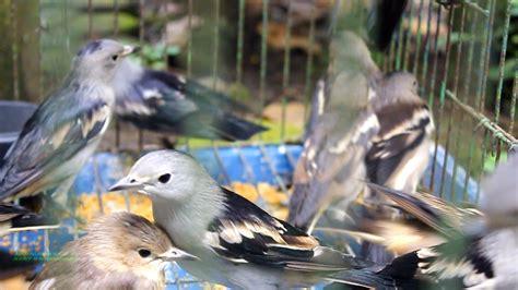 Jalak Kapas ribuan burung dari ekosistem batang toru berakhir di pasar