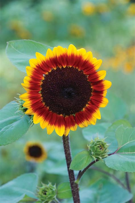 unexpected sunflower colors hgtv