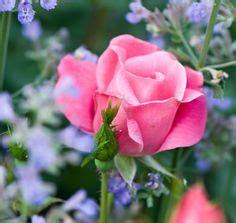 rose flower power on pinterest climbing roses english