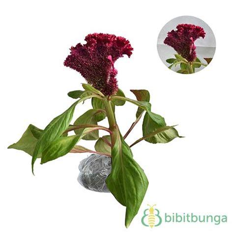 tanaman jengger ayam merah jumbo jual tanaman hias