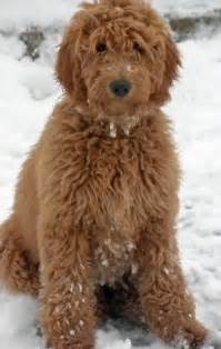 goldendoodle daily puppy darcy the goldendoodle dogs daily puppy