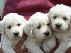 white golden retrievers for sale available schipperkes breeds picture