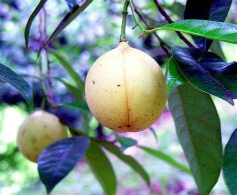 Bibit Buah Pala cv mitra bibit pala kembang desa yang pernah jadi rebutan para bule