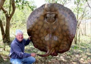 Big Fishes of the World: SHORT TAILED RIVER STINGRAY (Potamotrygon