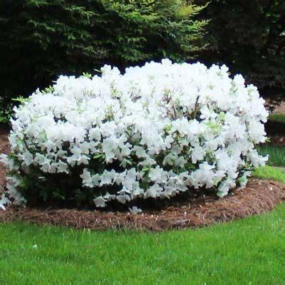 Azalea White azalea rhododendron king s white southern indica hybrid