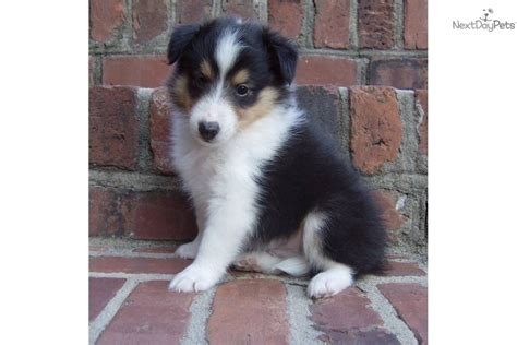 sheltie puppies for sale in nc sheltie puppies for sale local breeds picture