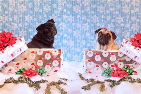 pugs boxing boxing day pugs photo and wallpaper beautiful boxing day pugs pictures