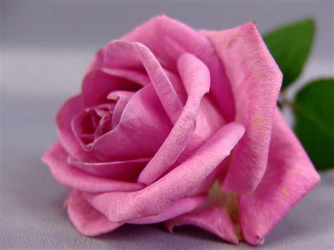 wallpaper rose flower beauty flowers beautiful nature wallpaper 23466520 fanpop
