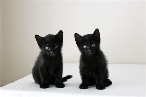 how to find a black cat in a room the psychology of intuition influence decision and trust books foster kittens jasper and jinx black cats kittens