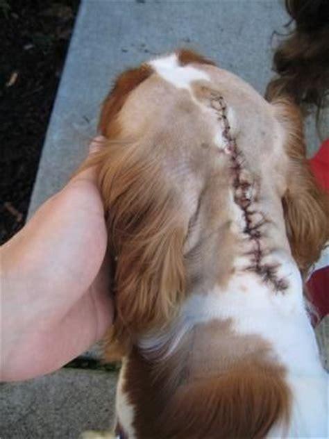 syringomyelia in dogs pin by hollis dematteo on chiari