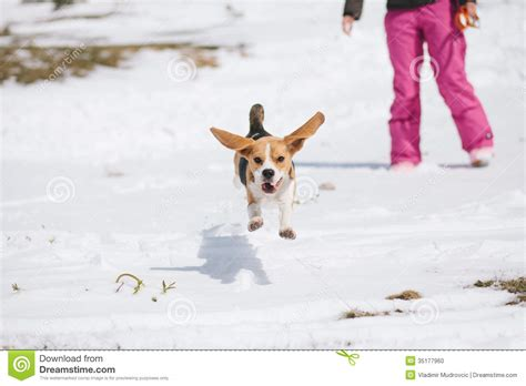 pam the puppy learns to jump early reading books books beagle jumping in snow stock photo image 35177960