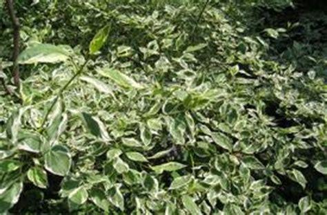 dogwood shrub | lovetoknow