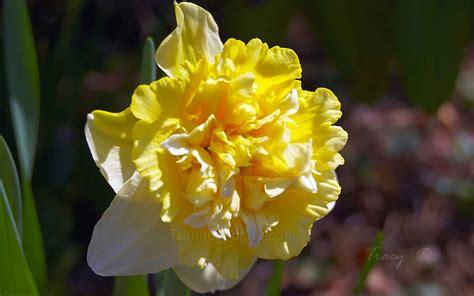 daffodil yellow double daffodil yellow