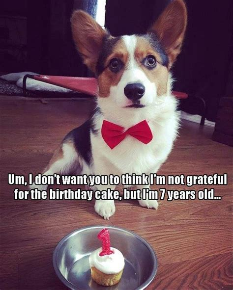 Corgi Birthday Meme - funny animal pictures of the day 27 pics funny animals