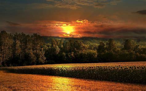 hd field sunset sunflowers forest flowers magazine