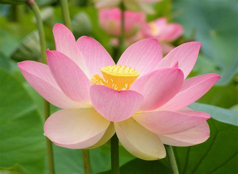 file nelumno nucifera open flower botanic garden