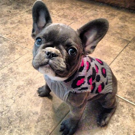 blue frenchie puppy blue bulldog in a sweater dogs beautiful puppys and i want
