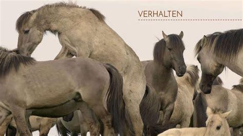 beim decken nachwuchshengst beim decken expedition pferd