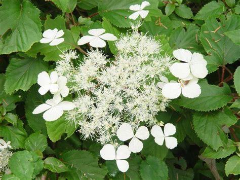 pictures of hydrangea varieties slideshow