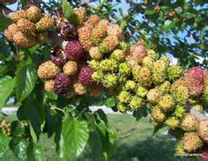 when do mulberry trees fruit moving a mulberry tree god as a gardener