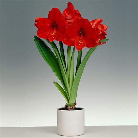 amaryllis wonderland  ceramic pot buy amaryllis bulbs