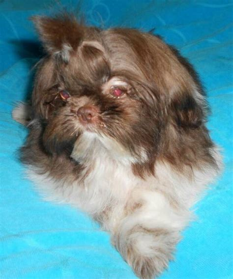 shih tzu puppies amarillo shih tzu breeder shih tzu puppies tx shih tzu breeds picture