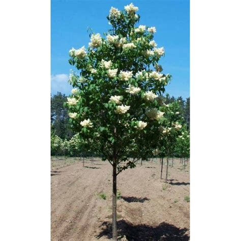 Plants For Patios In The Shade by Ivory Silk Japanese Tree Lilac