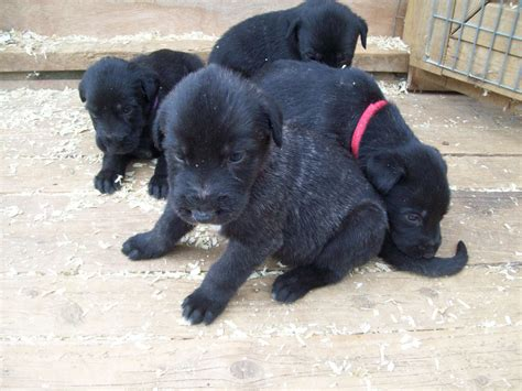 wolfhound puppies wolfhound puppies available scarborough pets4homes