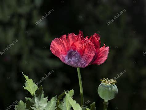 poppy flower colors color opium poppy flower stock photo 169 flysnow 82376216