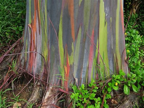 rainbow coloured eucalyptus trees of new guinea 7 pics