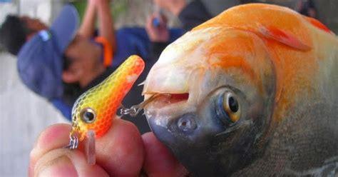 Nikelin Pancing gudang ilmu tips membuat rangkaian ikan bawal