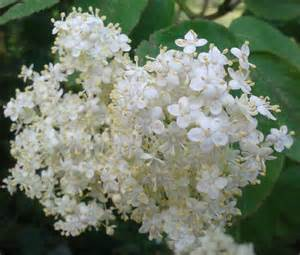What Flowers Can I Plant Now - word in veg ways elderflower quintessential summer