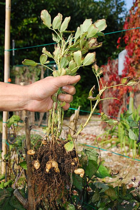 Where Are Planters Peanuts Grown by How To Grow Peanuts Harvest To Table
