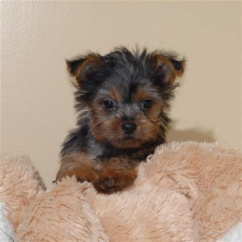 free yorkie puppies in arkansas pets free classified ads