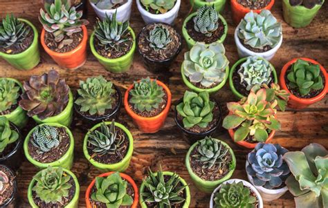 Indoor Gardening by 7 Easiest Succulents To Grow And 3 Of The Hardest