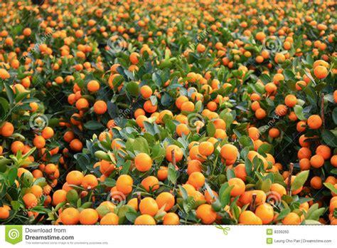 kumquat trees new year kumquat stock photo image 8339260